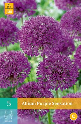 Okrasný cesnak - Allium Purple Sensation